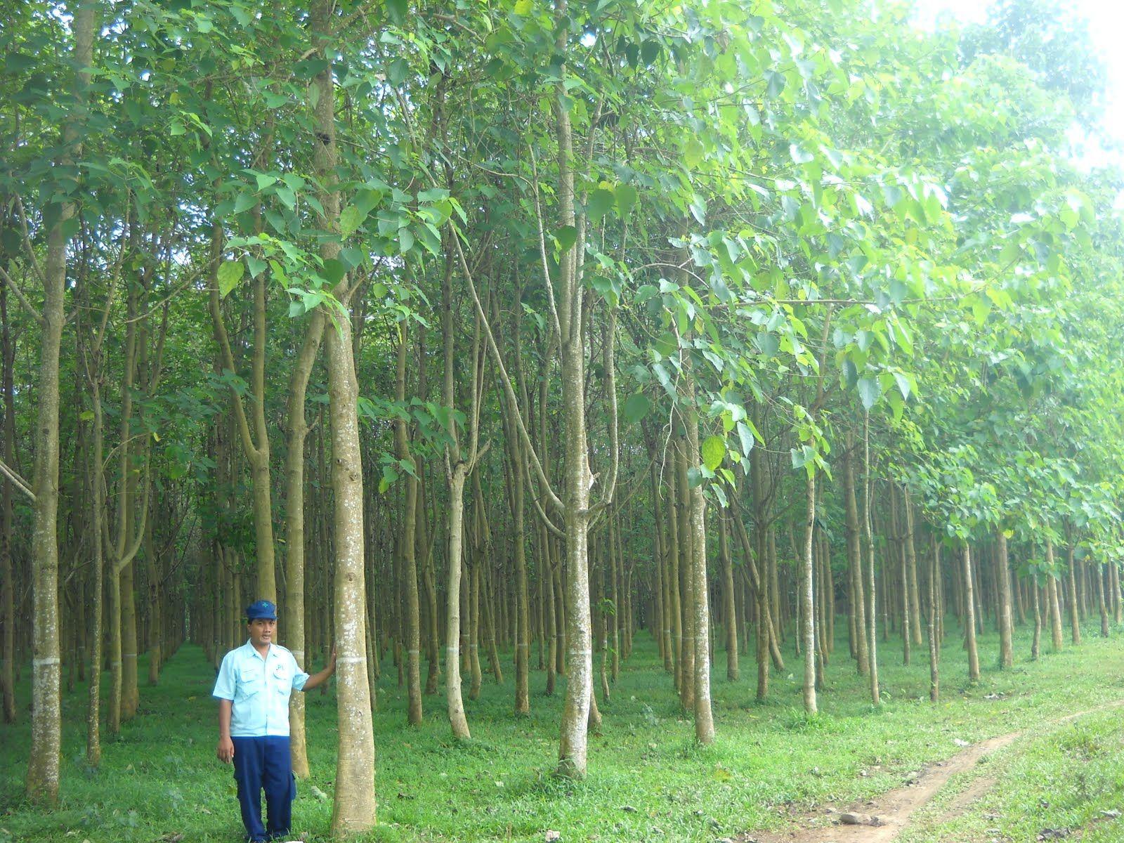 Gambar Pohon Jati Cara Golden Gambar pohon jati belanda