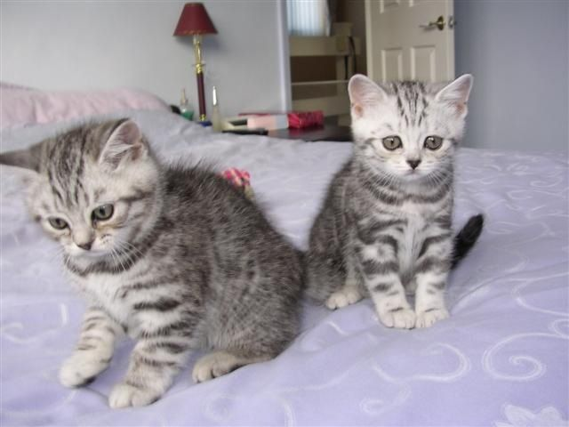 Blue Silver Tabby British Shorthair Kitten These Cats Are So Cute