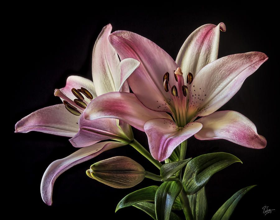 Pink Tiger Lilies By Endre Balogh Flowers Black Background Flower Sketches Tiger Lily