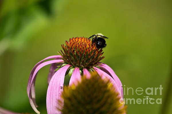 BEE AND ECHINACEA FLOWER Available in prints, framed prints, canvas prints, acrylic prints, metal prints, greeting cards.