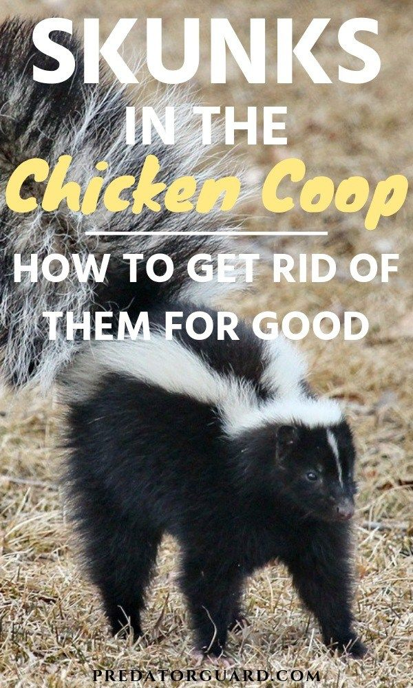 Skunks In The Chicken Coop: How To Get Rid of Them ...