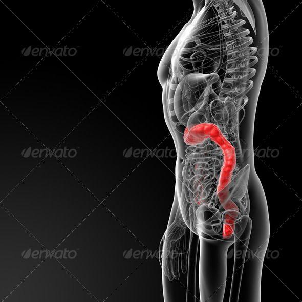 3d Rendered Illustration Of Male Large Intestine Anatomical Anatomy