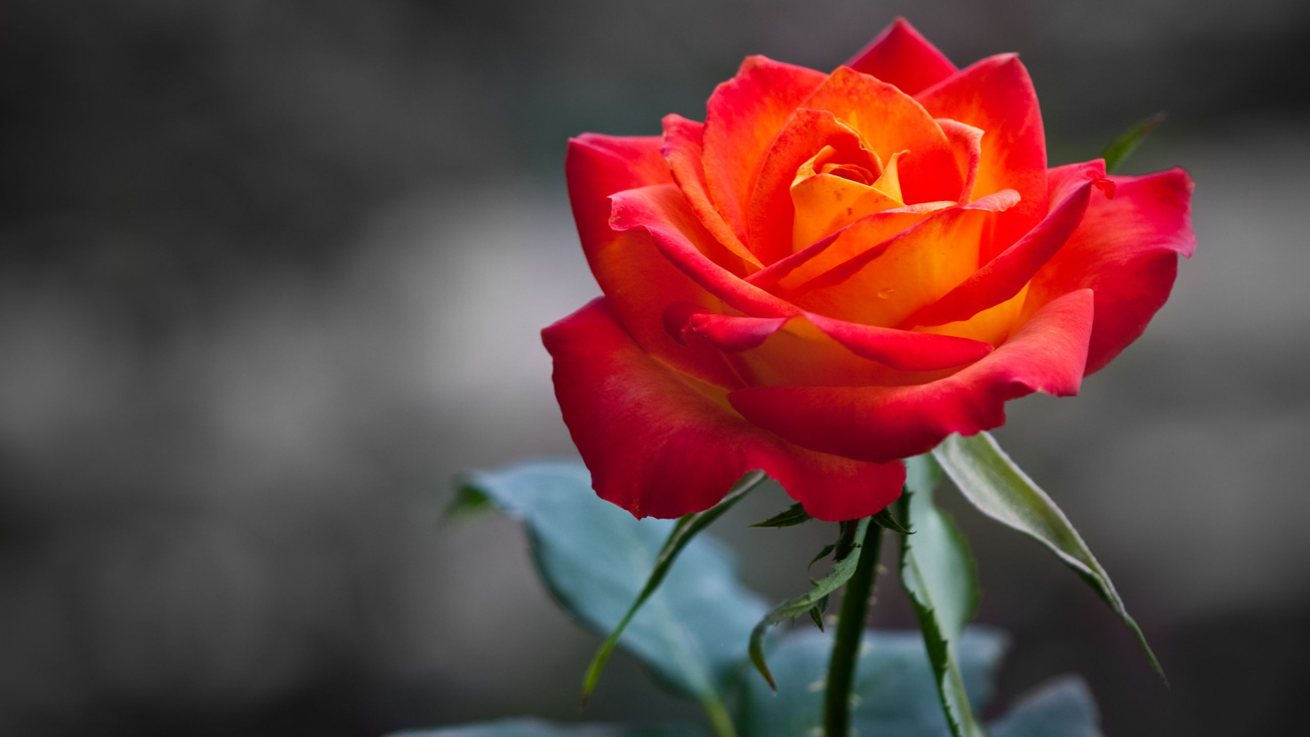 Orange Red Rose Hd Wallpaper For Desktop Rose Flower Wallpaper Beautiful Roses Orange Roses