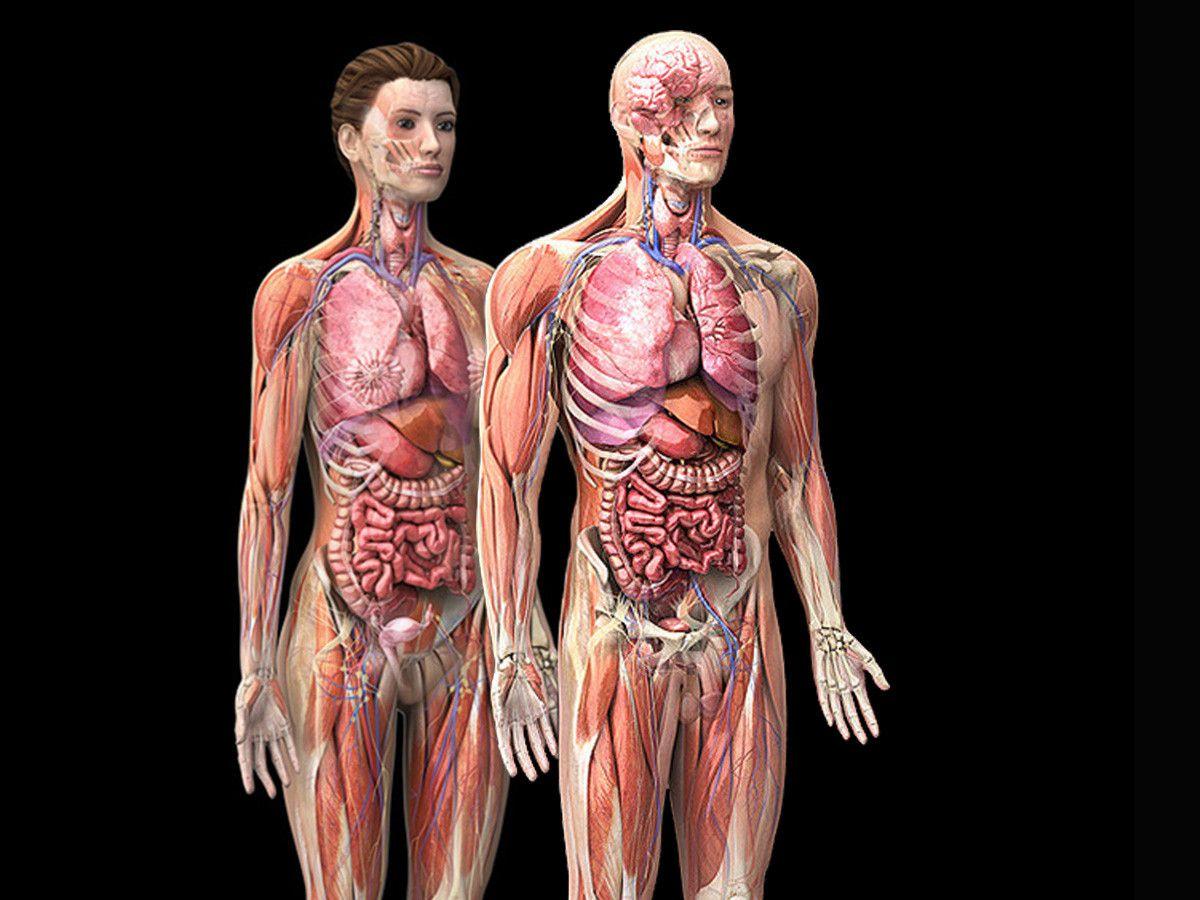 Анатомия человека картинки внутренних