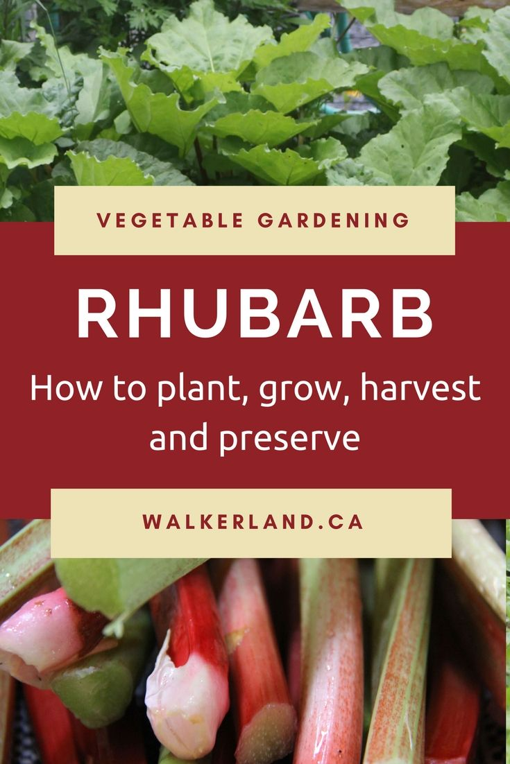 How to plant rhubarb in the fall - Rhubarb Learn How To Plant Grow Harvest And Preserve Rhubarb