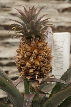 8490ce40bbb52067312622e387713d44 - Pineapples From The Lost Gardens Of Heligan
