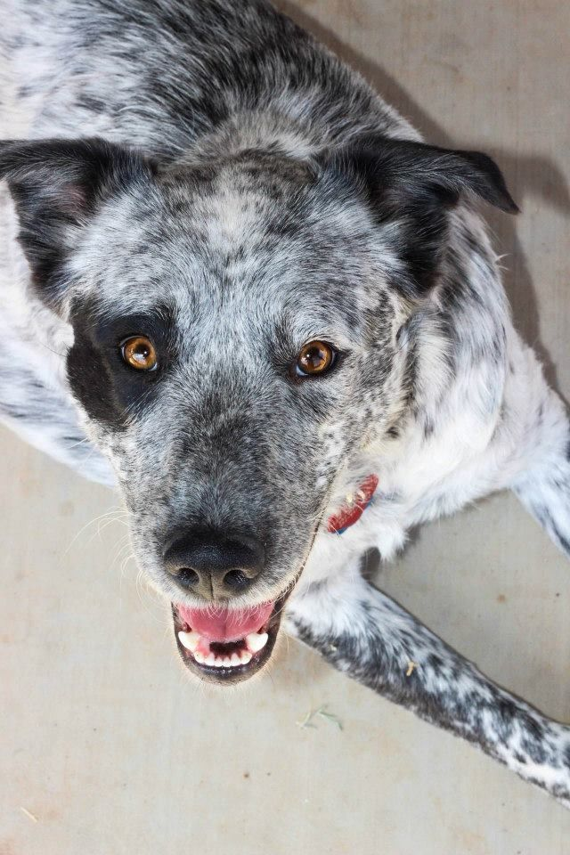 Junebug Blue Heeler Mix Rescue Australian Cattle Dog Animals Dogs