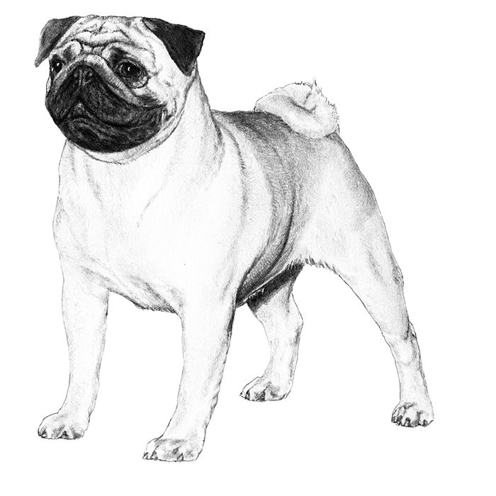 Pug Dog Breed Information Dog Breeds Best Small Dogs Pug Breed