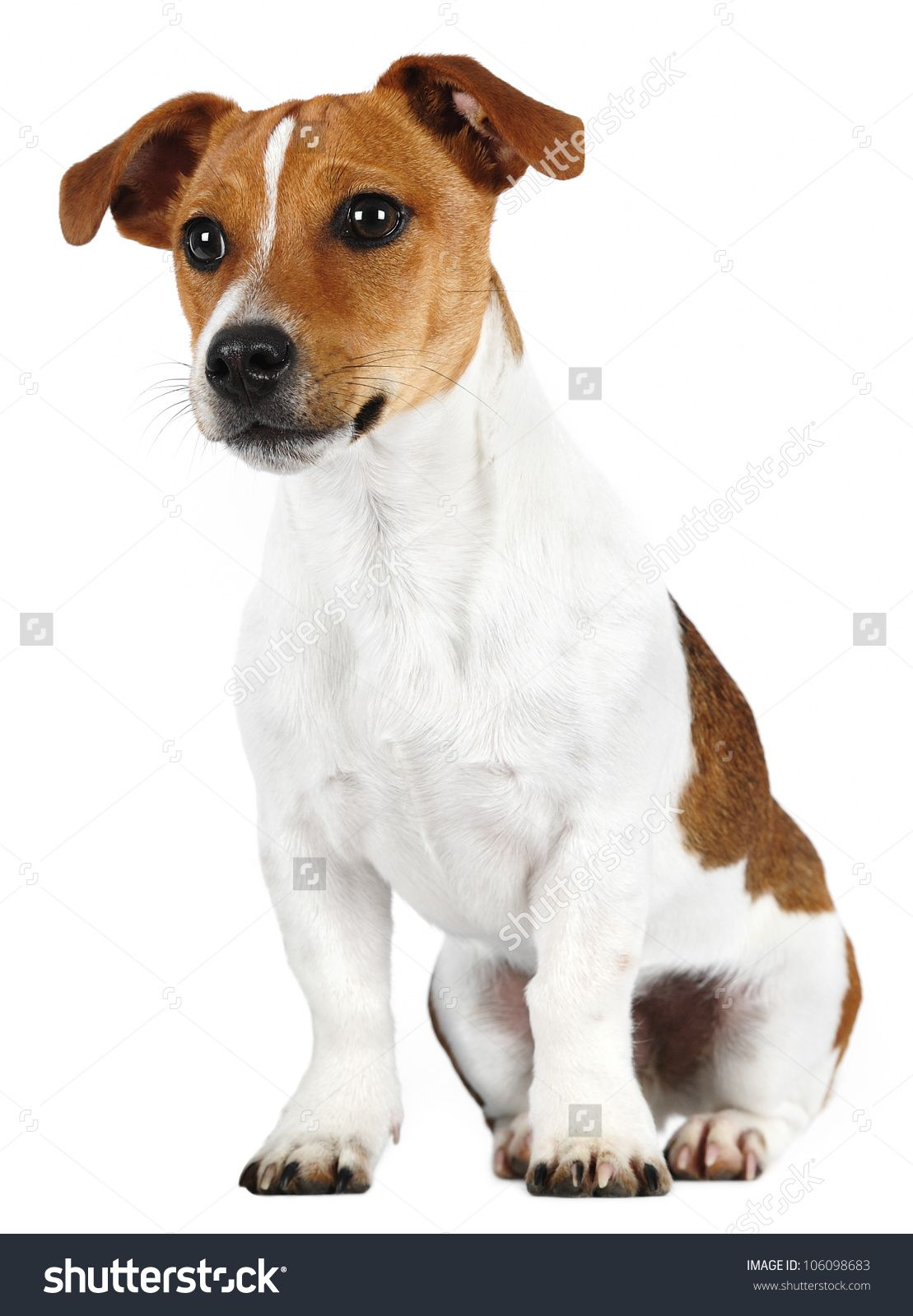 Jack Russell Terrier Read More About Living With Pet Dogs By Visiting The Link On The Image Most Popular Dog Breeds Dog Breeds Dog Breeds List