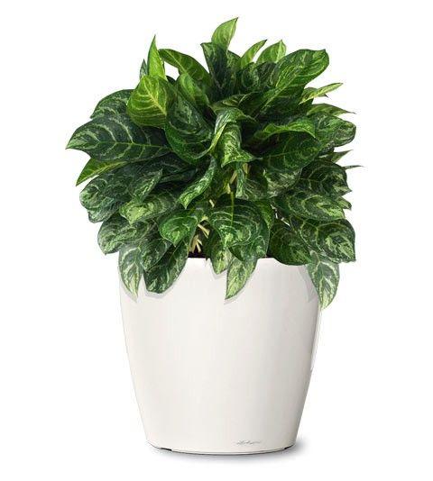 Small ornamental plant calypso evergreen ornamental for Ornamental vegetable plants
