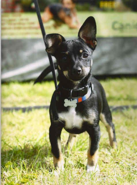Black Tan And White Jackrussell Chihuahua Mix Google Search