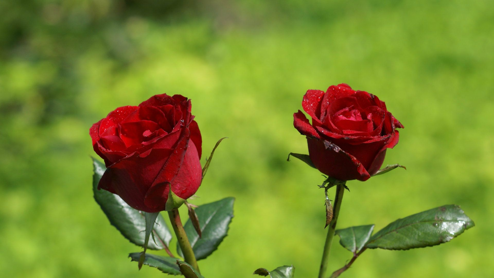 Red Roses In Nature HD Wallpaper