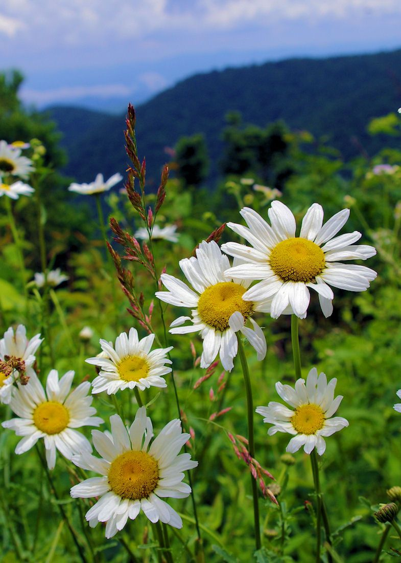 Wildflowers Along The Blue Ridge Parkway Near Asheville, North Carolina.  Parkway Guide And Photos