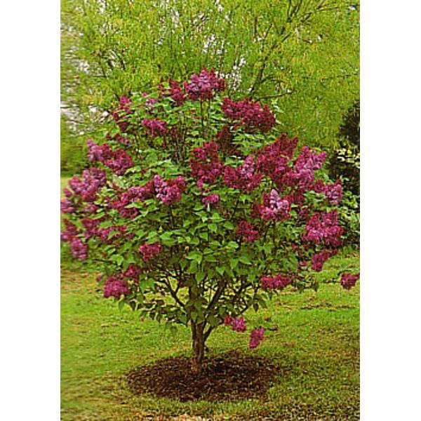 Syringa Charles Joly Lilac Tree Johnstown Garden Centre Ireland