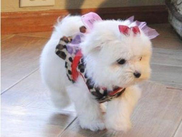 Maltese Puppies For Sale Scotland Zoe Fans Blog Teacup Puppies