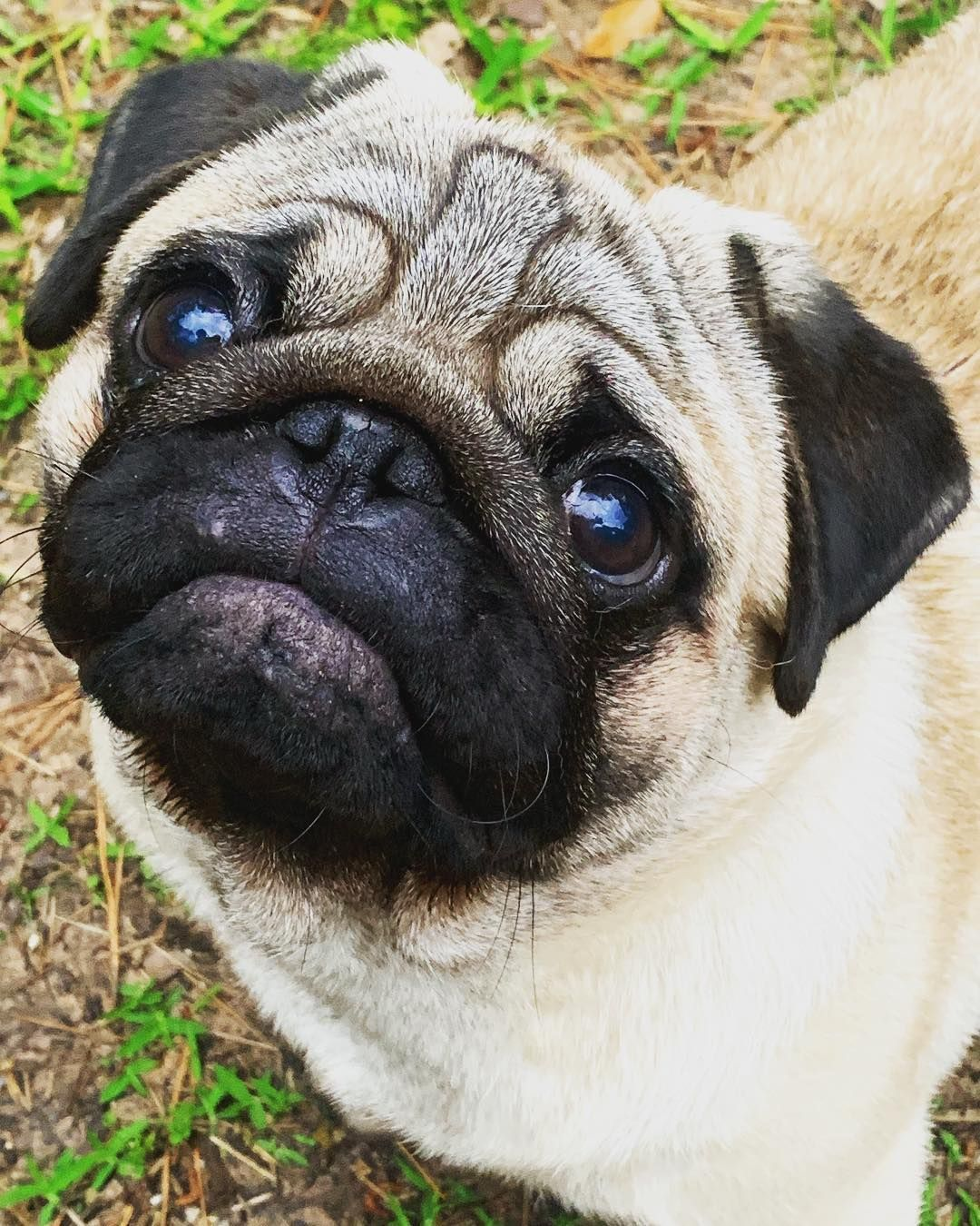 Cute Pug In Dog Show Cute Pugs Pug Pictures
