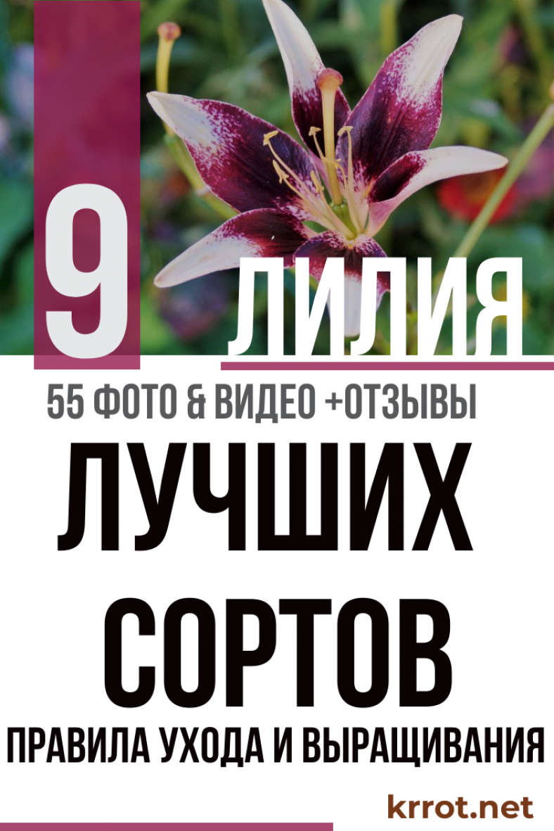 Лилия (55+ Фото) - Описание 9 Сортов, Выращивание +Отзывы ...