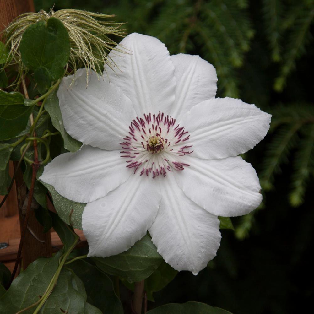Spring hill nurseries the queen jadwiga clematis live bareroot