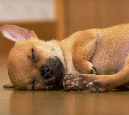 Pin Von Eirhnh Digklh Auf Cute Dogs Chihuahua Welpen Susse Tiere Hund Chihuahua