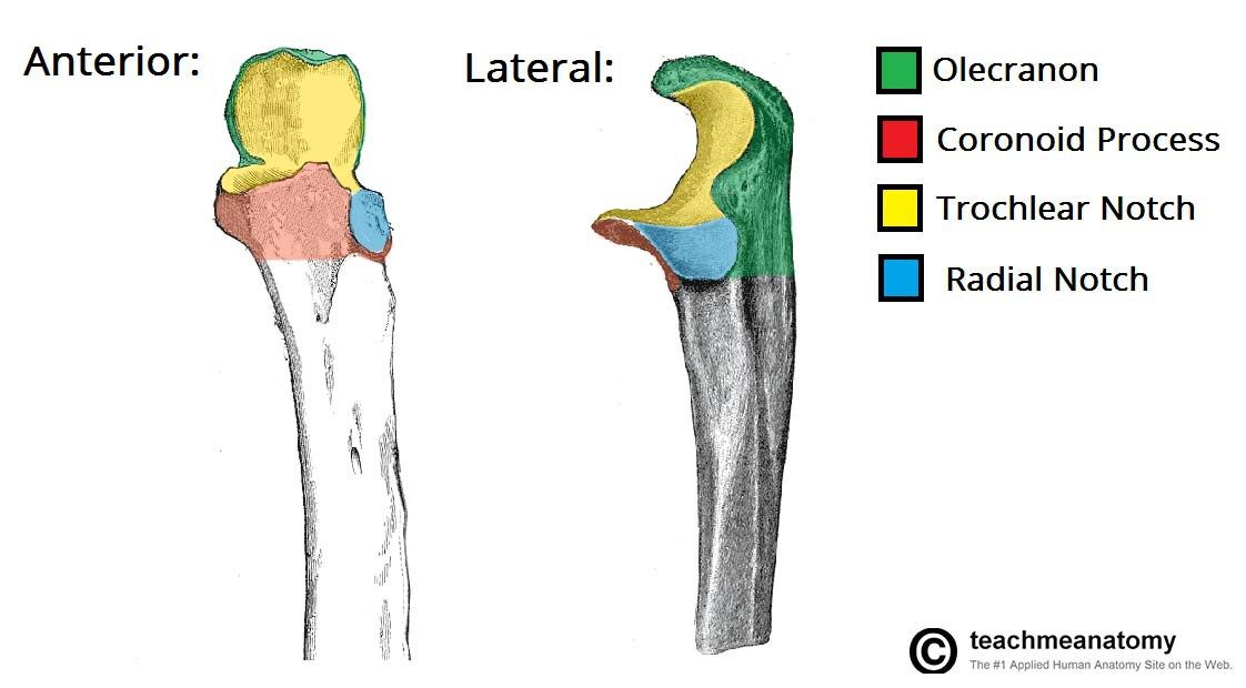 Anatomy of Ulna Bone | Musculoskeletal Health | Pinterest