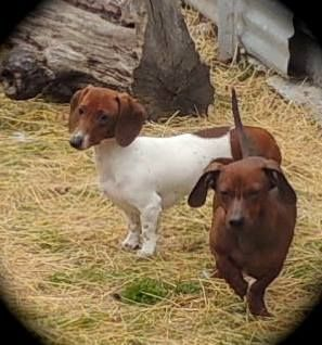 Adopt Scooter On Dachshunds Looking For A Home Dachshund