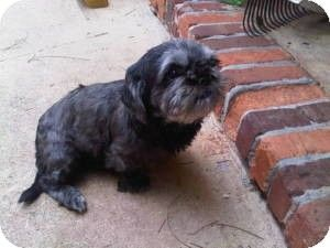 Adopt A Pet Pippin Lawrenceville Ga Shih Tzu Poodle Toy
