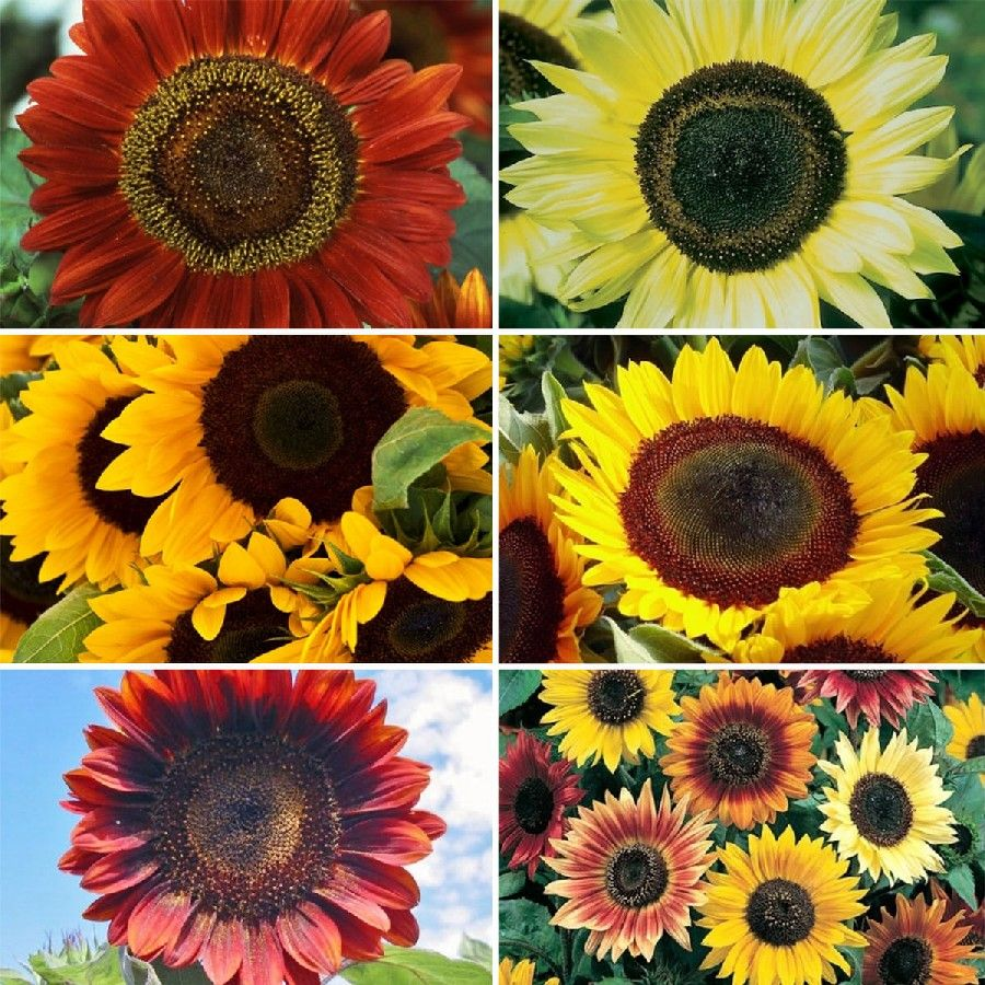 Sunflower Seed Collection 6 Individual Varieties Sunflower Seeds Sunflower Colors Seeds