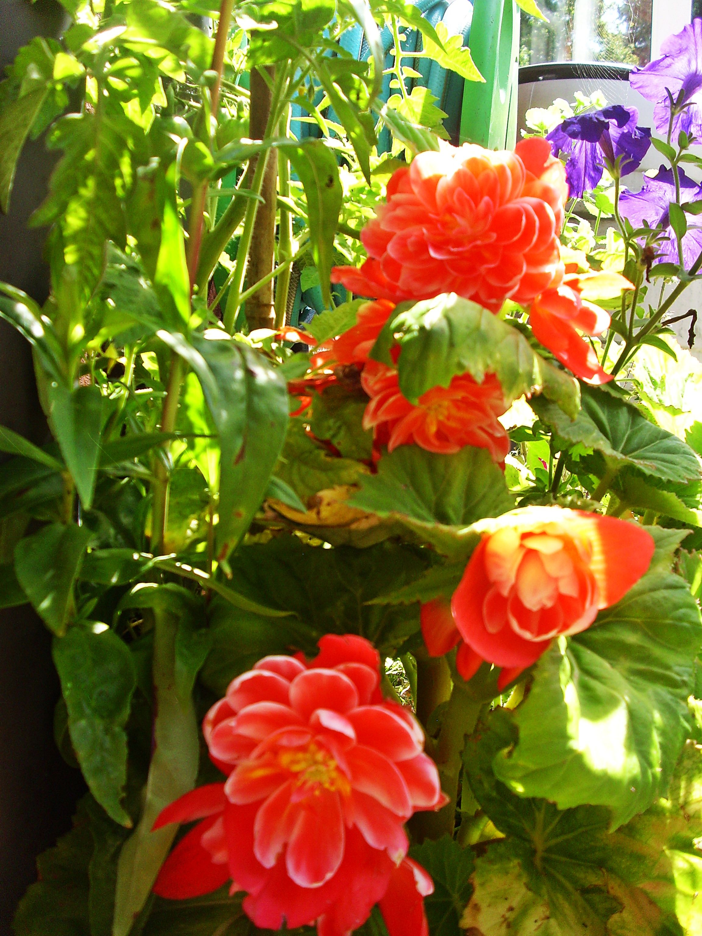 Chinese Begonia Begonia Flowers Plants