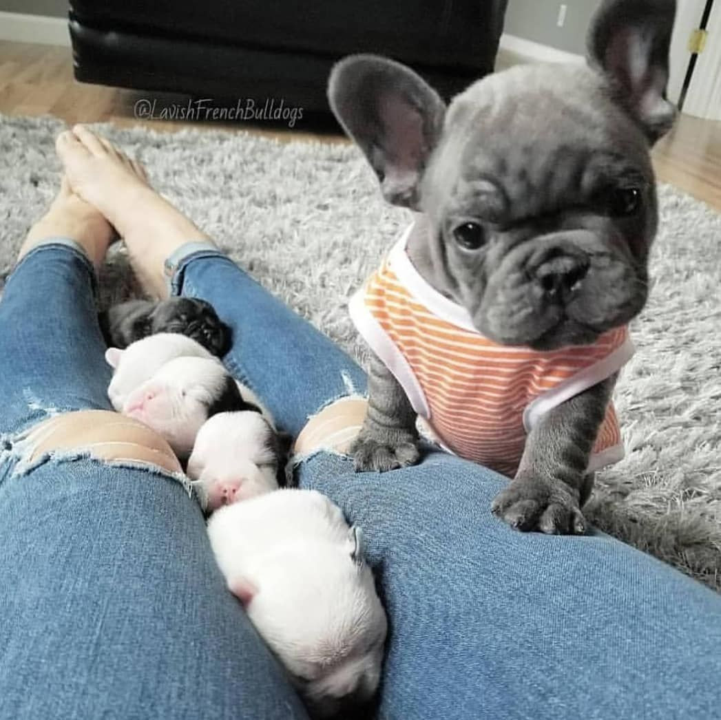 Idea By Sodapop Curtis On French Bull Dogs Puppy Teething Dogs