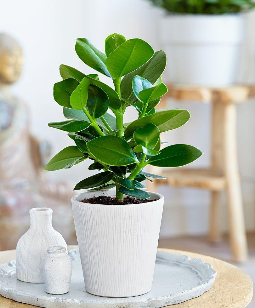 intenz home clusia 39 princess 39 plantes pinterest plantes plantes tropicales et pixel. Black Bedroom Furniture Sets. Home Design Ideas