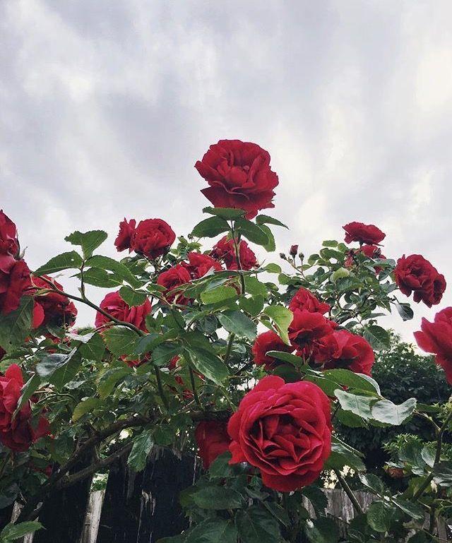 Flower Roses Pinterest: Pinterest// @NoortjeDR