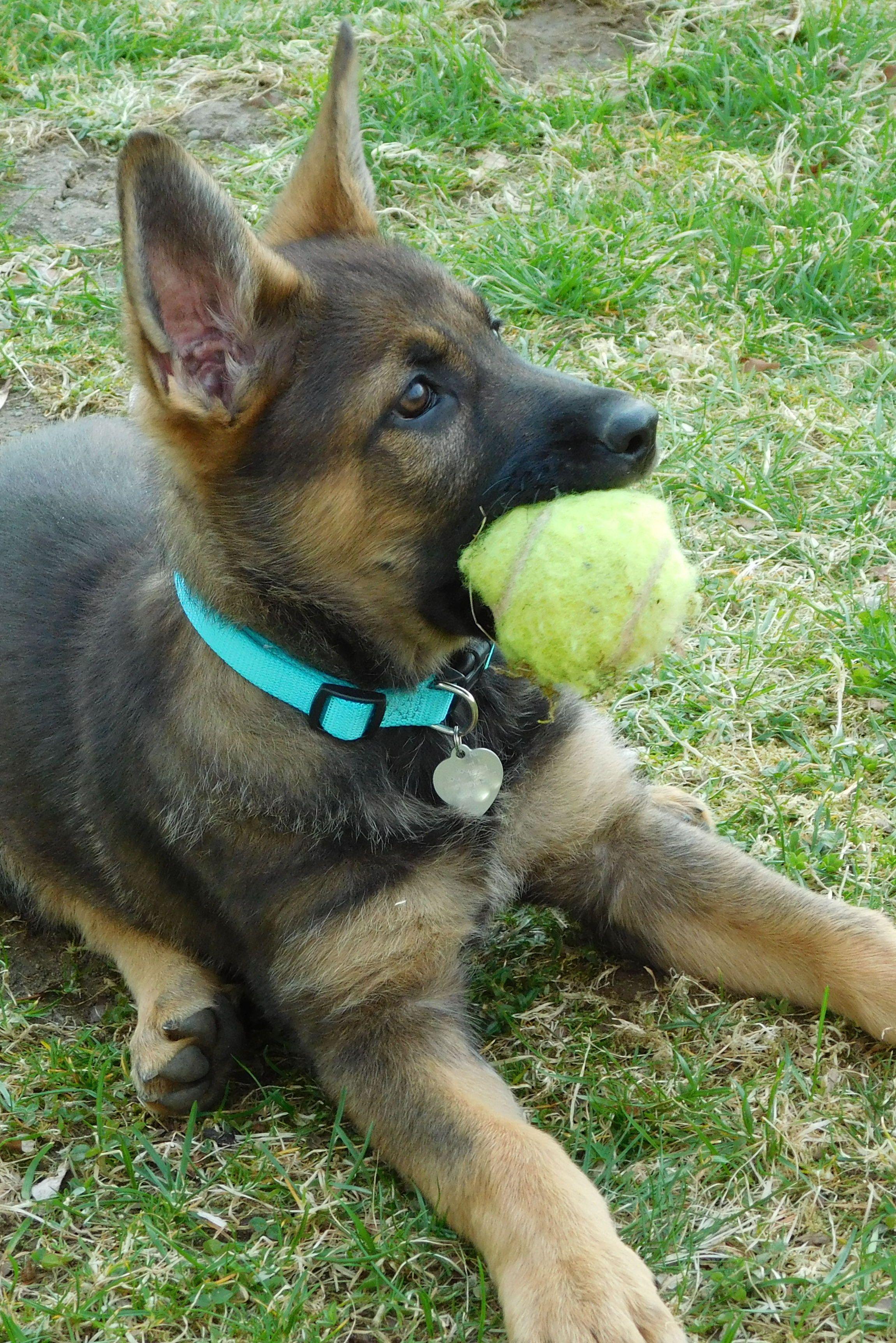 Sierra My 11 Week German Shepherd Puppy Cute Animals Gsd