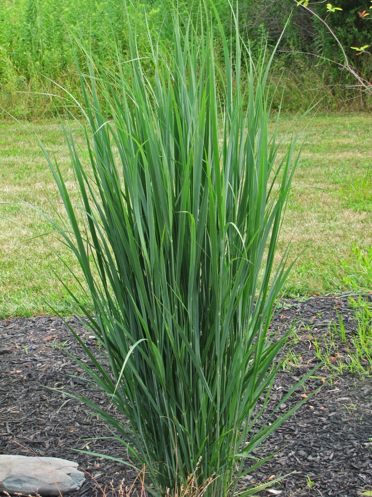Panicum virgatum switch grass 39 northwind 39 an obsessive for Tall grass plants