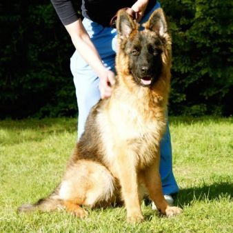 Meet Lufy A German Shepherd From Dubai Home Protection Dogs Animals