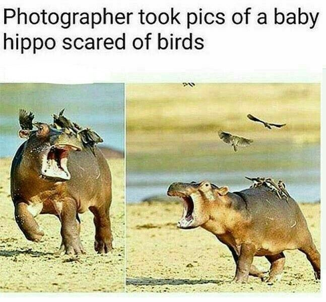 Photographer Took Pics Of A Baby Hippo Scared Of Birds Cute Funny Animals Funny Animal Memes Animal Memes