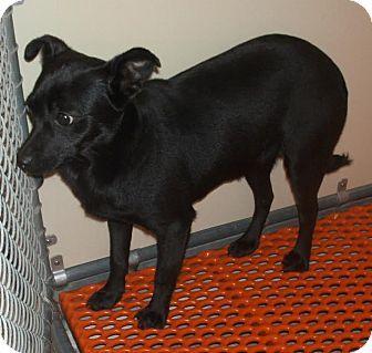 Baltimore Md Manchester Terrier Chihuahua Mix Meet Fannie A