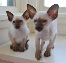 Wedge Head Siamese Cat Pictures Google Search Siamese Cats Cat Pics Siamese Cats Blue Point