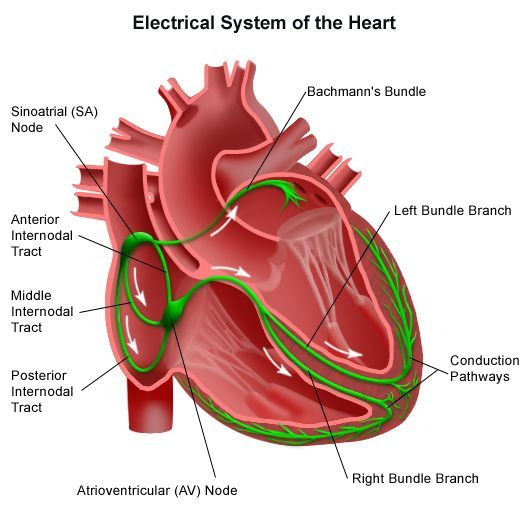 Electrical conduction system of the heart diagram google search heart diagram ccuart Images