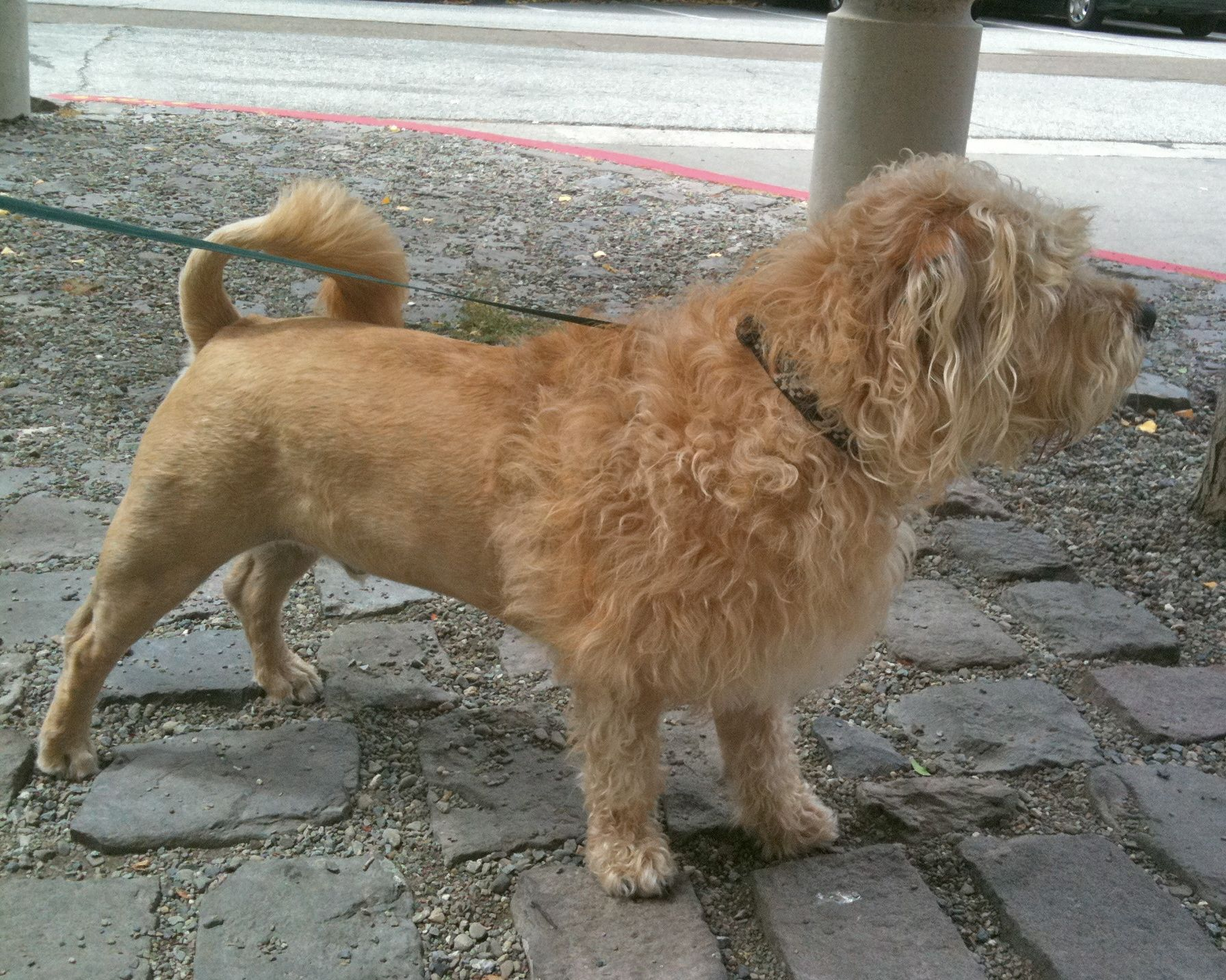 Terrier With A Lion Haircut The Dogs Of Sf Pup Life