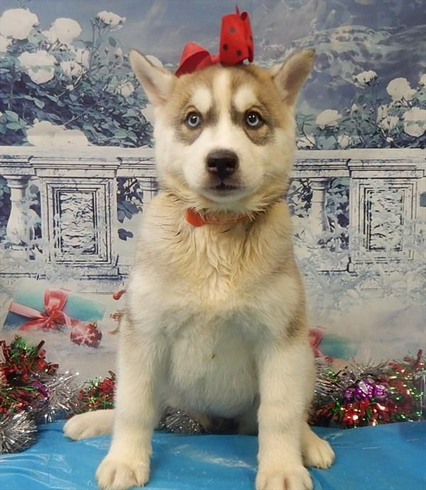 Siberian Husky Puppy For Sale In Chicago Il Adn 21082 On