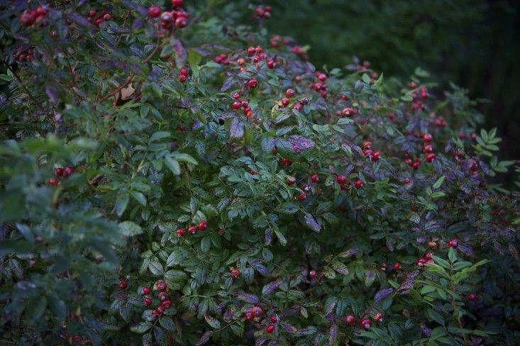 Cape Cod Rose Part - 34: Foraging For Rose Hips On Cape Cod In Autumn ; Gardenista Wild Roses  ????????