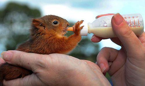 Haz Milk Baby Squirrel Squirrel Cute Squirrel