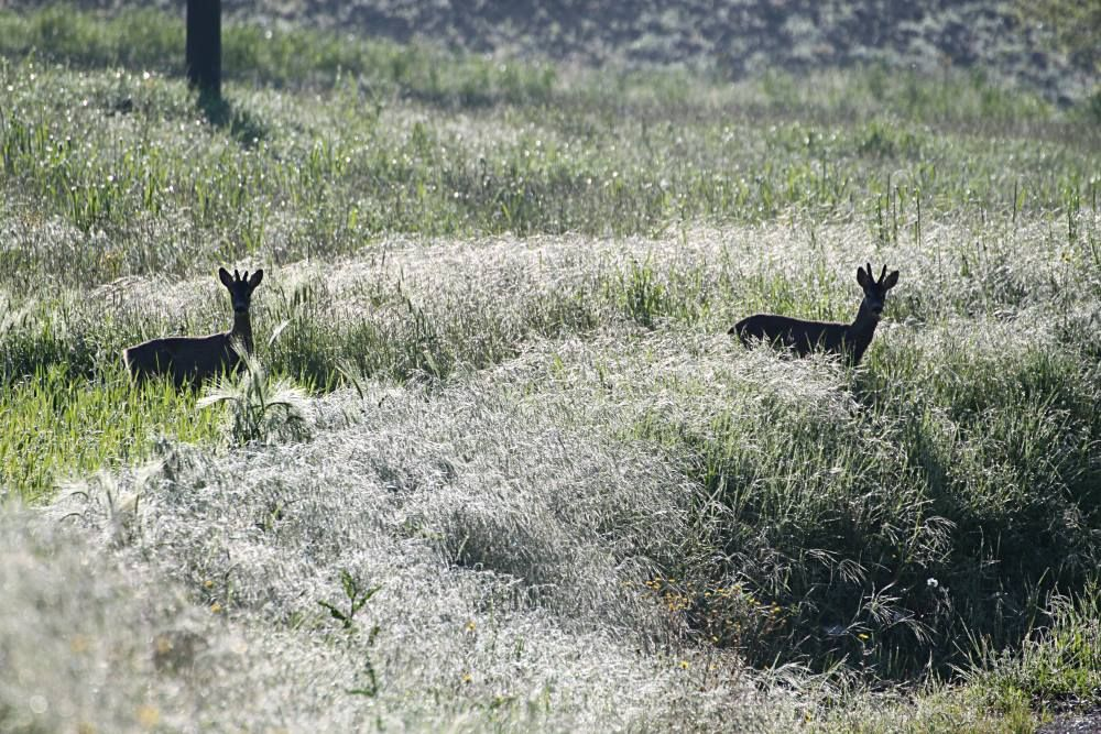 Locanda della Valle Nuova, Marches, Italy. Two beautiful roe deer spotted early one morning walking down towards Fermignano http://www.organicholidays.com/at/396.htm