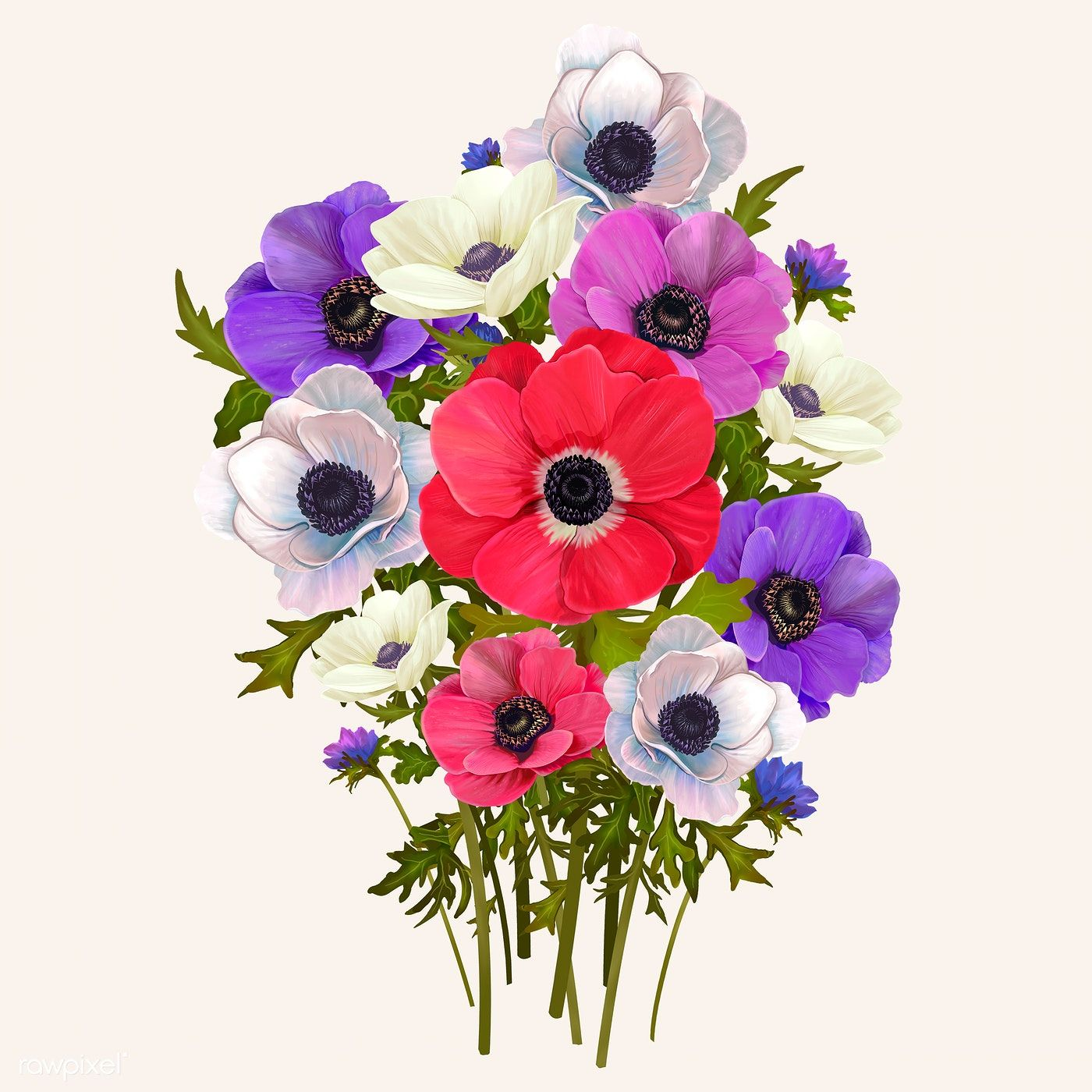 Download Premium Illustration Of Beautiful Anemone Flowering Plant Plant Illustration Flower Illustration Anemone Flower