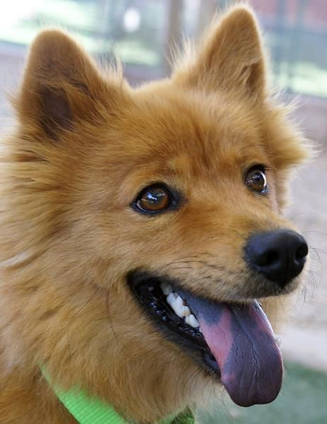 Finnish Spitz Lab Mix With Images Unique Dog Breeds Finnish