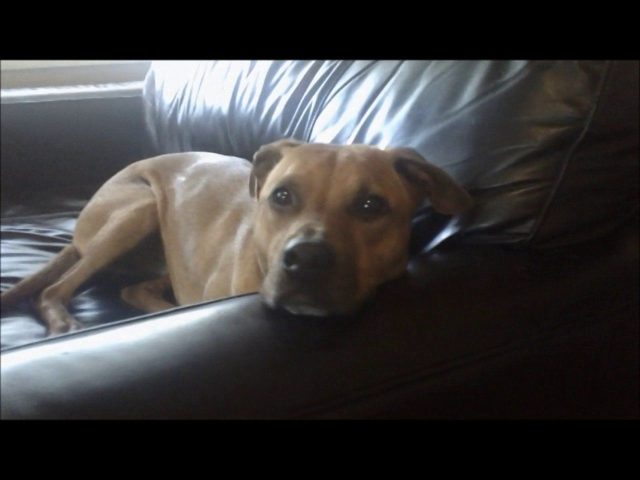 Idiopathic head tremors: A typical Cooper tremor   Pup Stuff