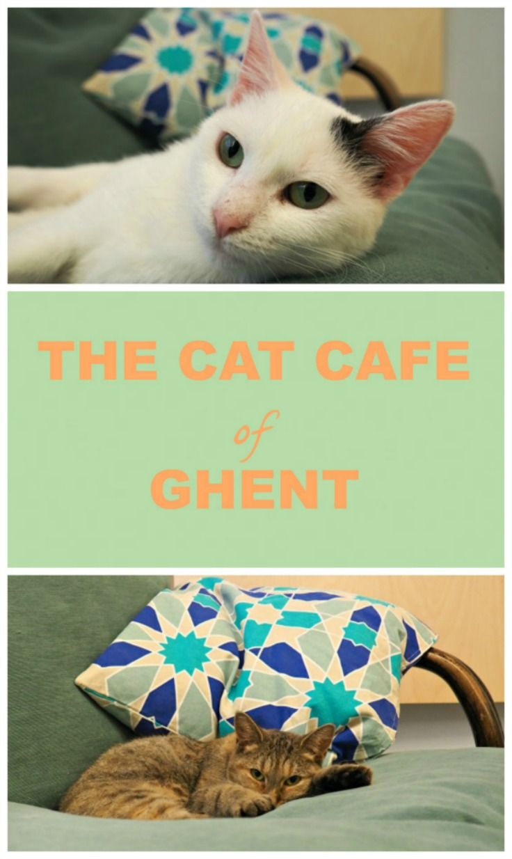 Cats From Ghent Belgium Cat Cafe Getting A Kitten Cat With Blue Eyes