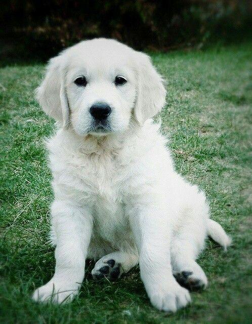 Golden Retriever Puppy Dogs Dogs