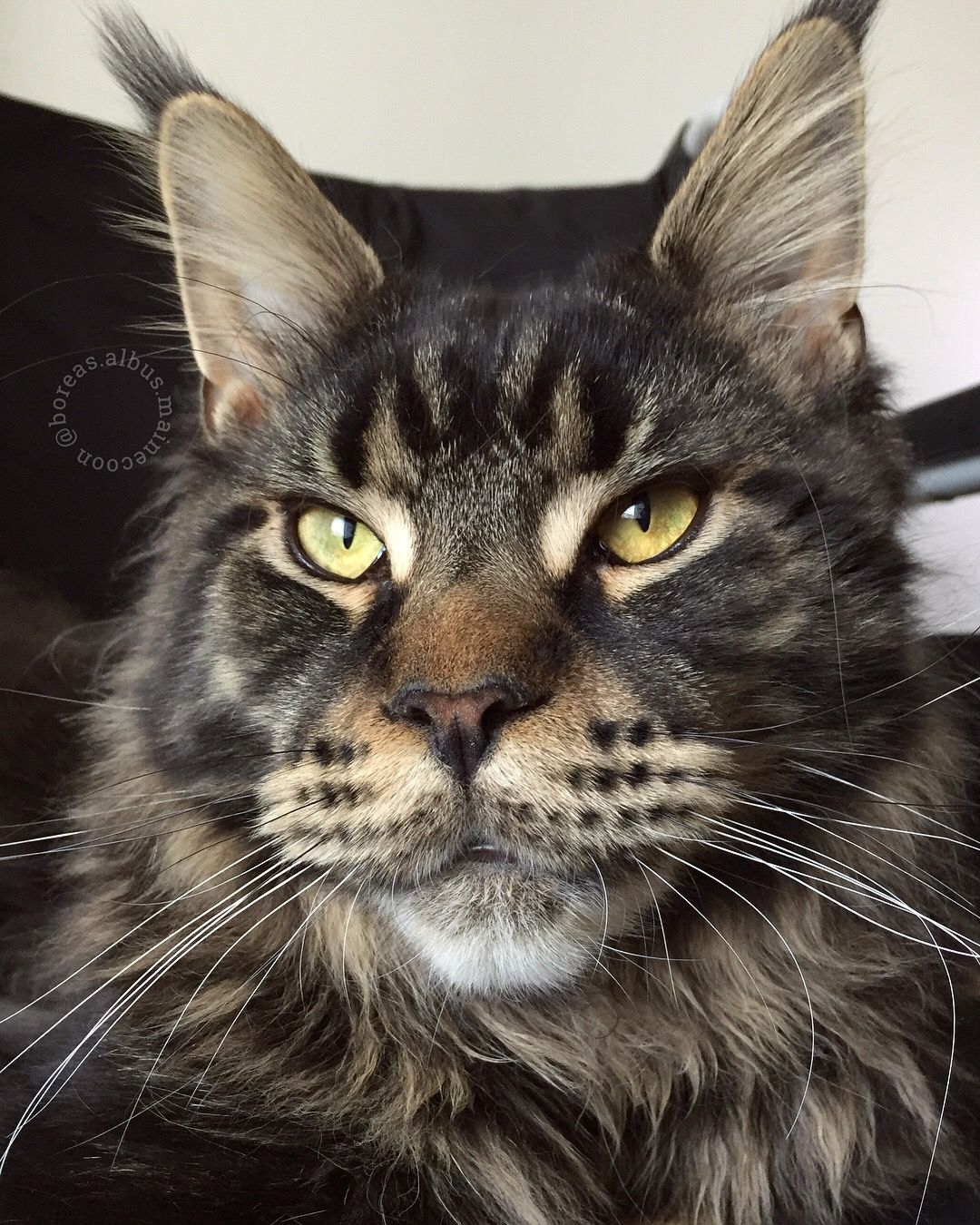 Maine coon kitten 10 months brown tabby blotched