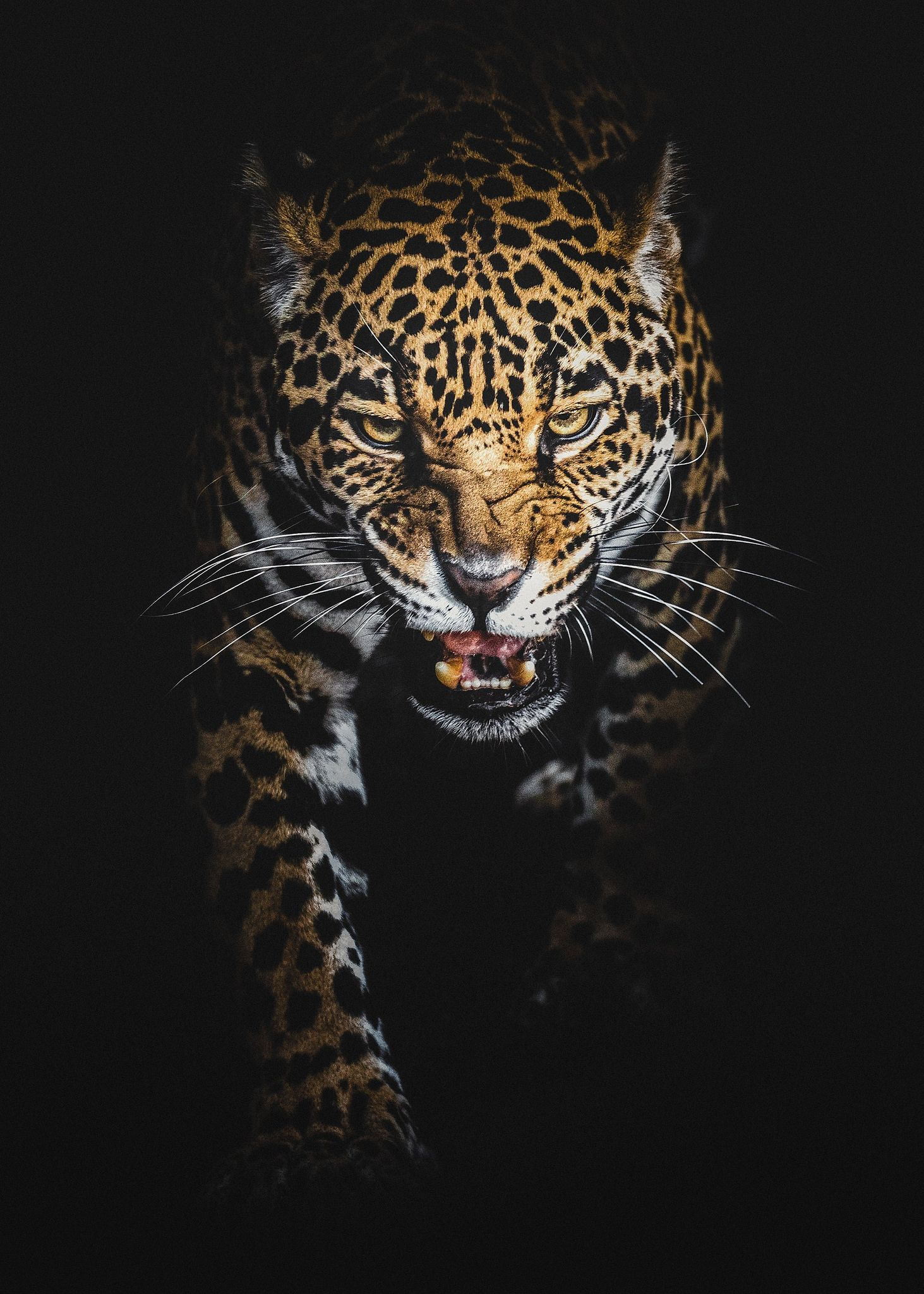 The Jaguar Jaguar Animal Animals Animals Wild